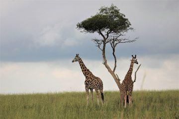 giraffes-4586686_640